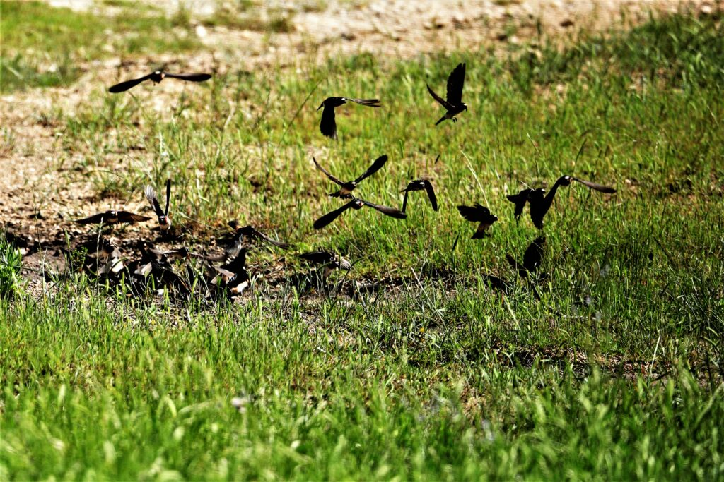 Swallows Hunting